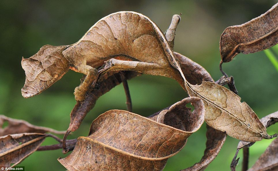 Satanic leaf-tailed gecko on branch.