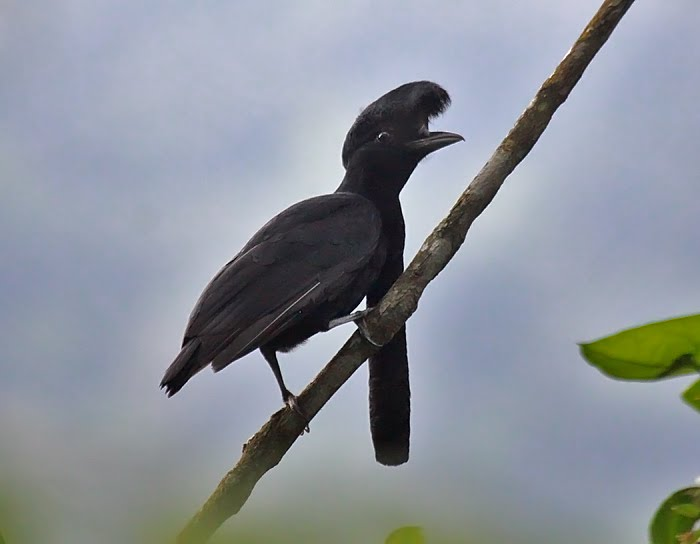 Long-wattled Umbrella Bird on a branch.
