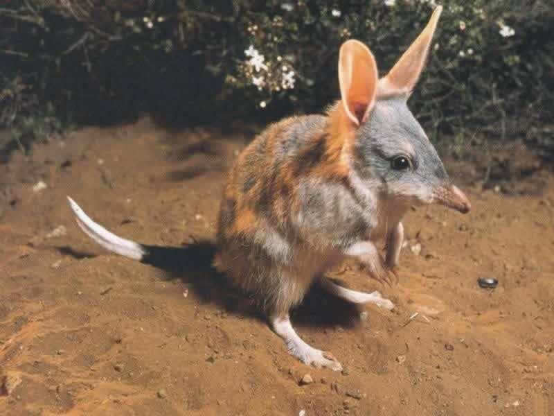 Bilby in Australia with large ears