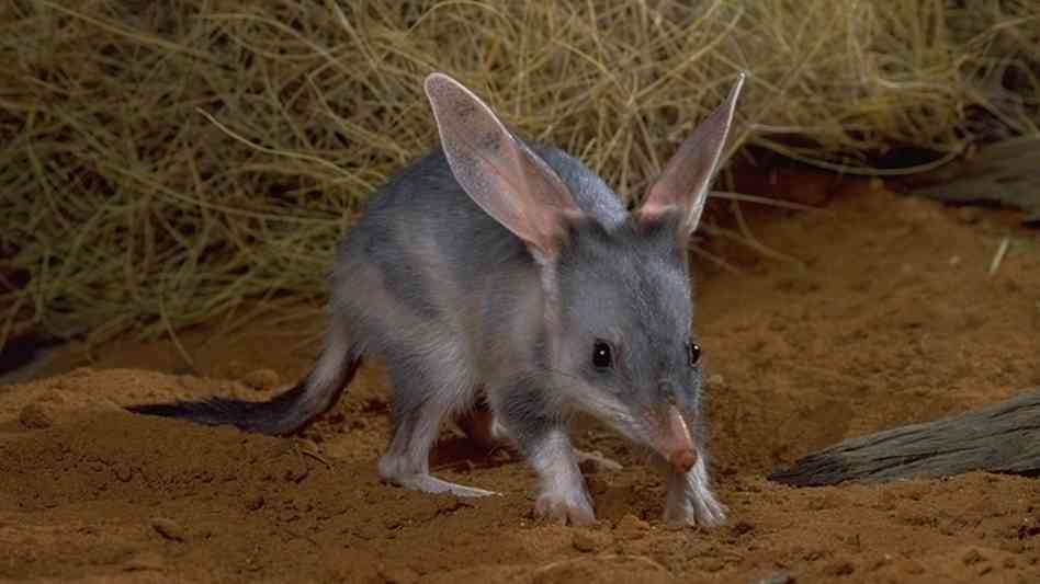 Bilby marsupial with large ears