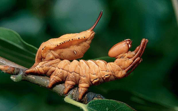 lobster moth caterpillar on leaf