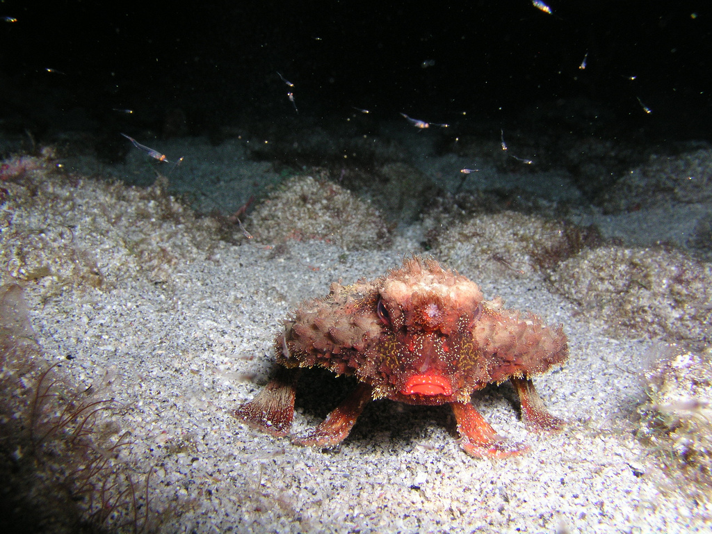 Roughback batfish on sea floor
