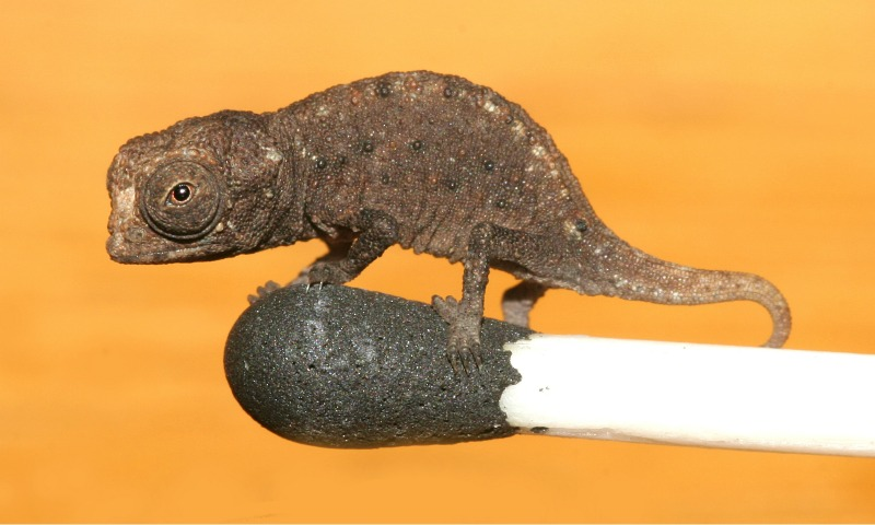 World's smallest chameleon sitting on a matchstick