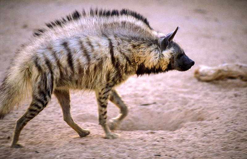 Striped Hyena with crest of hair