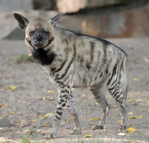 Striped Hyena facing the camera