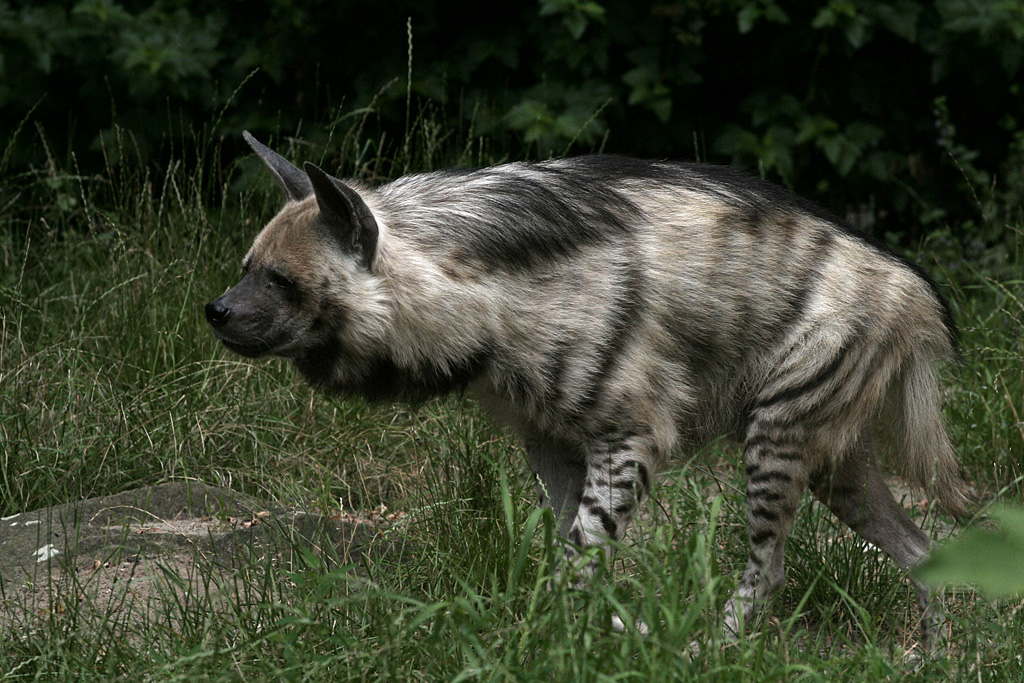 Striped Hyena with hair in face.